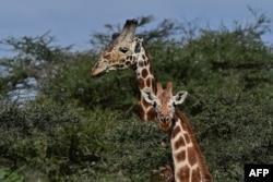 FILE - Giraffes are seen at the Loisaba conservancy in Laikipia, Kenya.