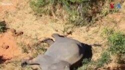 بوٹسوانا میں 400 ہاتھی پراسرار طور پر ہلاک