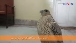عرب شہزادوں کے کوئٹہ میں قید عقاب