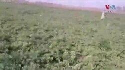 ٹڈی دل کا سندھ کے بعد پنجاب کی فصلوں پر حملہ