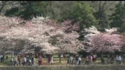 2013-04-09 美國之音視頻新聞: 華盛頓的櫻花終於盛放