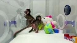 中国科学家成功克隆两只长尾猴