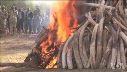 肯尼亚官方严厉打击偷猎大象
