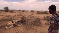 Même les chameaux meurent de faim suite à la sécheresse dans le Somaliland