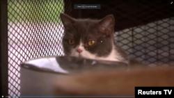 Uno de los gatos de raza confiscados por agentes antinarcóticos de Tailandia durante una redada a una operación de lavado de dinero. Captura de video de Reuters TV. Marzo 16 de 2021.