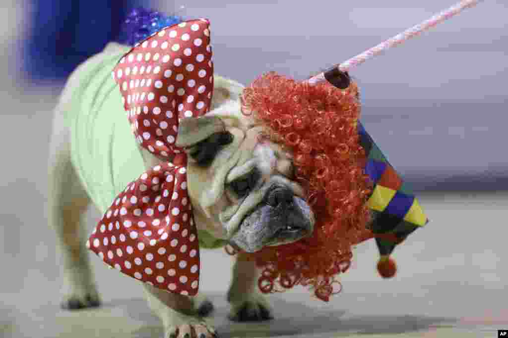Jasmine Josephine loses her wig as she walks across the stage during judging at the 35th annual Drake Relays Beautiful Bulldog Contest in Des Moines, Iowa, April 21, 2014.