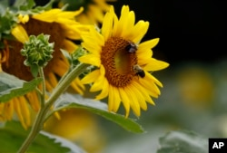 Bumble bees inspect and pollinate a sunflower on a farm in Bolton, Mississippi, 2018. (AP Photo/Rogelio V. Solis)