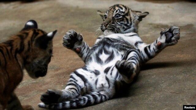 Diperkirakan hanya ada 400 harimau Sumatera yang masih tersisa di alam liar. (Foto: Dok)