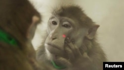 A rhesus monkey puts its hand near a laser light on its face as it looks at itself in the mirror, during experiments that showed that rhesus monkeys can learn to recognize themselves in the mirror, in this undated handout picture courtesy of Neng Gong of he Chinese Academy of Sciences in Shanghai, China.