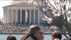 فستیوال شکوفه های گیلاس در شهر واشنگتن