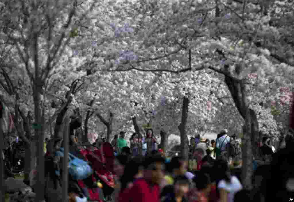 10일 벚꽃 구경을 나온 관광객들로 붐비는 미국 워싱턴 DC 타이들 베이신 주변.