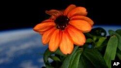 """Cinija, jednogodišnja baštenska biljka, poznata i kao """"lepi čovek"""" uspešno procvetala na Međunarodnoj svemirskoj stanici"""
