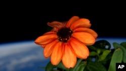 خلا میں اگنے والا 'زینیا' کا پودا جو ٹوئٹر پیغام کے ذریعے اسپیس کمانڈر، اسکاٹ کیلی نے پچھلے اتوار کو زمین کو بھیجا۔