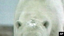 Sjeverni medvjedi će nestati s Aljaske za manje od 50 godina