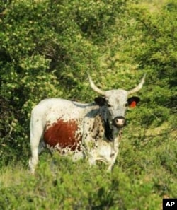 Great South African beef comes from indigenous cattle such as the Nguni breed
