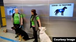 Cães treinados para detectar o Coronaírus na Suécia
