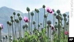 美国否认参与打击阿富汗毒品走私