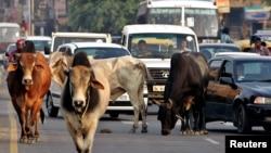 آوارہ گایوں کا ایک گروہ سڑک پر جا رہا ہے جس کے باعث ٹریفک آہستہ ہو گئی ہے۔ نئی دہلی (فائل)