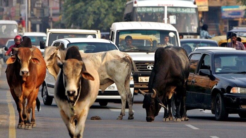 بھارت: آوارہ گایوں کی پرورش پر انعام کا اعلان