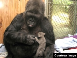 Koko adopted two kittens on her 44th birthday — Ms. Gray and Ms. Black. She nurtured and protected them as if they were her own babies. (Gorilla Foundation)