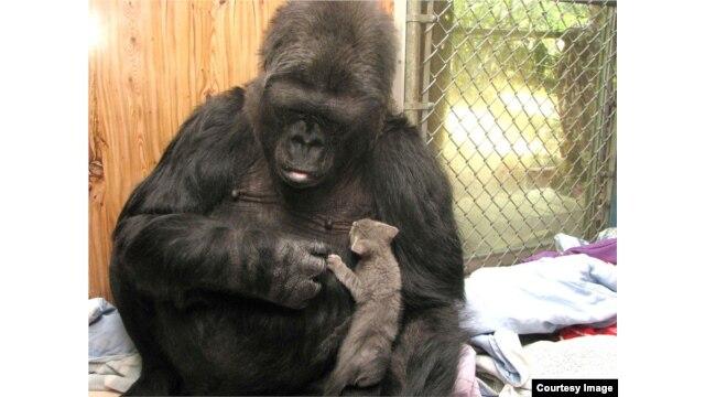 Koko adoptierte an ihrem 44. Geburtstag zwei Kätzchen - Ms. Gray und Ms. Black. Sie hat sie aufgezogen und beschützt, als wären es ihre eigenen Babys. (Gorilla Foundation)