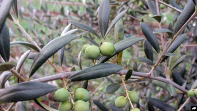 After surviving snows and freezes that killed off several thousand other trees, this arbequina tree is producing a good crop of olives.