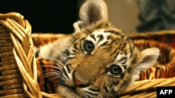 Путин проведет «Тигриный форум»