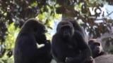 У горил в американському зоопарку виявили COVID-19. Відео