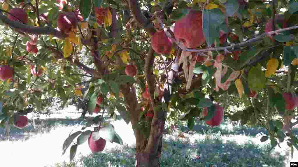 فصل چیدن سیب اشنویه آذربایجان غربی عکس: اهورا (ارسالی شما)