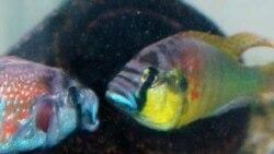 یافته های یک پژوهش جدید از پیچیدگی مغز ماهی پرده برمی دارد