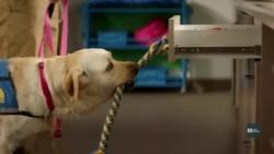 Чотирилапі помічники: як собак вчать допомагати людям з особливими потребами. Відео