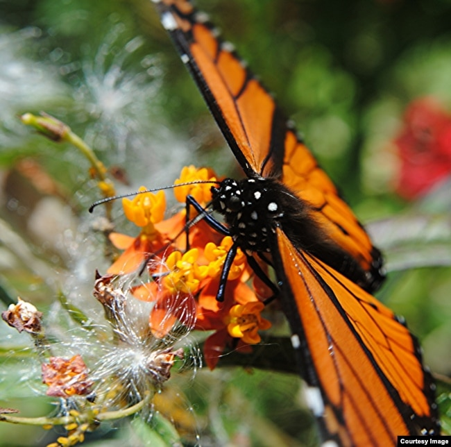 Milkweed, the primary food source for monarch butterflies, has dropped in recent years mirroring the decline of the insect. (Credit: Creative Commons/Jungle Mama)