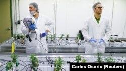 Виробництво марихуани в канадському коледжі