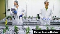 Студенти в лабораторії марихуани у Ніагарському коледжі, Онтаріо, Канада, 9 жовтня 2018 р.