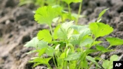 Tests showed cilantro was one of the most effective plants for pulling lead out of polluted water. (File Photo)