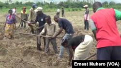 Les ex combattants labourent la terre aux cotés de vulnérables, le 3 janvier 2018. (VOA/Ernest Muhero)