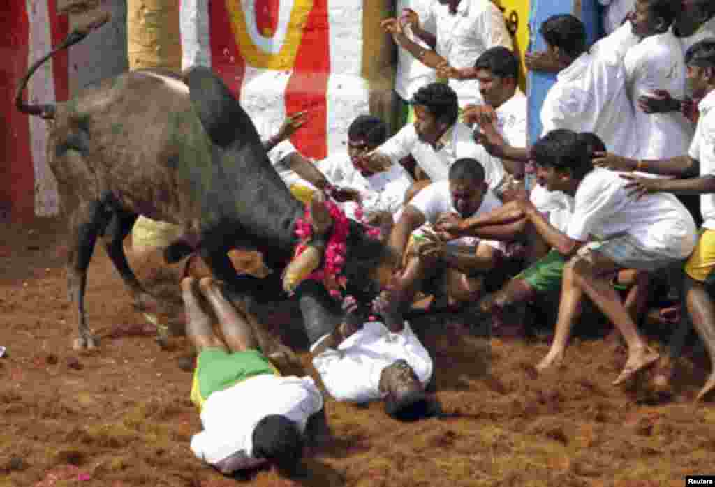 Villagers are pinned down by a bull during a bull-taming festival on the outskirts of Madurai town, about 500 km (311 miles) from the southern Indian city of Chennai January 17, 2012.