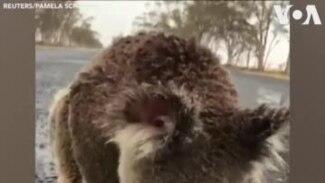 Ավստրալիա. Կոալան անձրևաջուր է խմում ճանապարհի եզրին