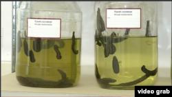 Perusahaan Polandia menternakkan lintah untuk ekspor. (Photo: VOA/Videograph)