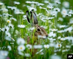 A hare sits in a field of marguerites in Frankfurt, Germany, late Sunday, May 26, 2019.