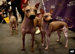 Candy, 2, left, Rodney, 7, center, and Johnny, 2, three American Hairless Terrier breeds owned by Virginia's Sue Medhurst are shown at a news conference, Monday Jan. 30, 2017, in New York. The dogs are among three new breeds competing in the Westminster Kennel Club's dog show.