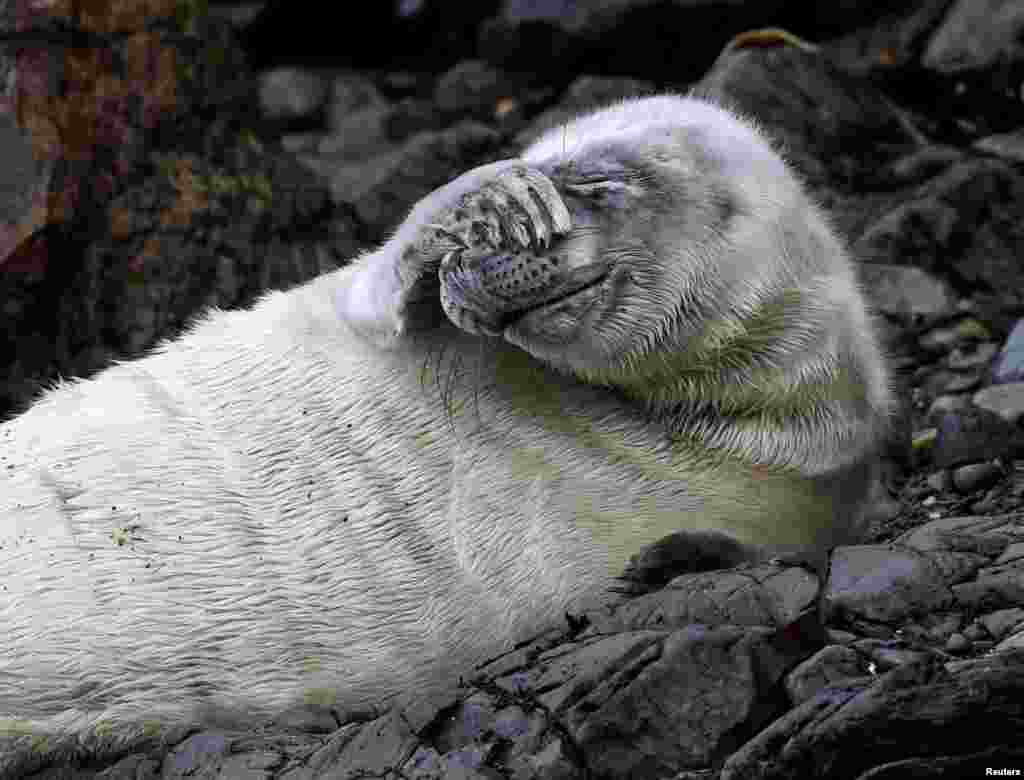 An Atlantic seal pup lies at St Martin's Haven, Pembrokeshire, Wales, Britain, Oct. 8, 2018.