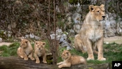 Anak singa Asia yang baru lahir di Perancis