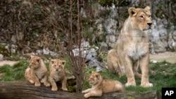 Singa Asiatik di kebun binatang Besancon, Perancis. (Foto: Dok)