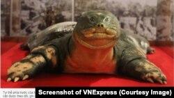 Hình ảnh 'cụ' rùa đã được nhựa hóa và trưng bày tại đền Ngọc Sơn, Hà Nội. (Ảnh chụp màn hình VNExpress)