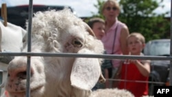 An Angora goat at a farmer's market in the state of Maine
