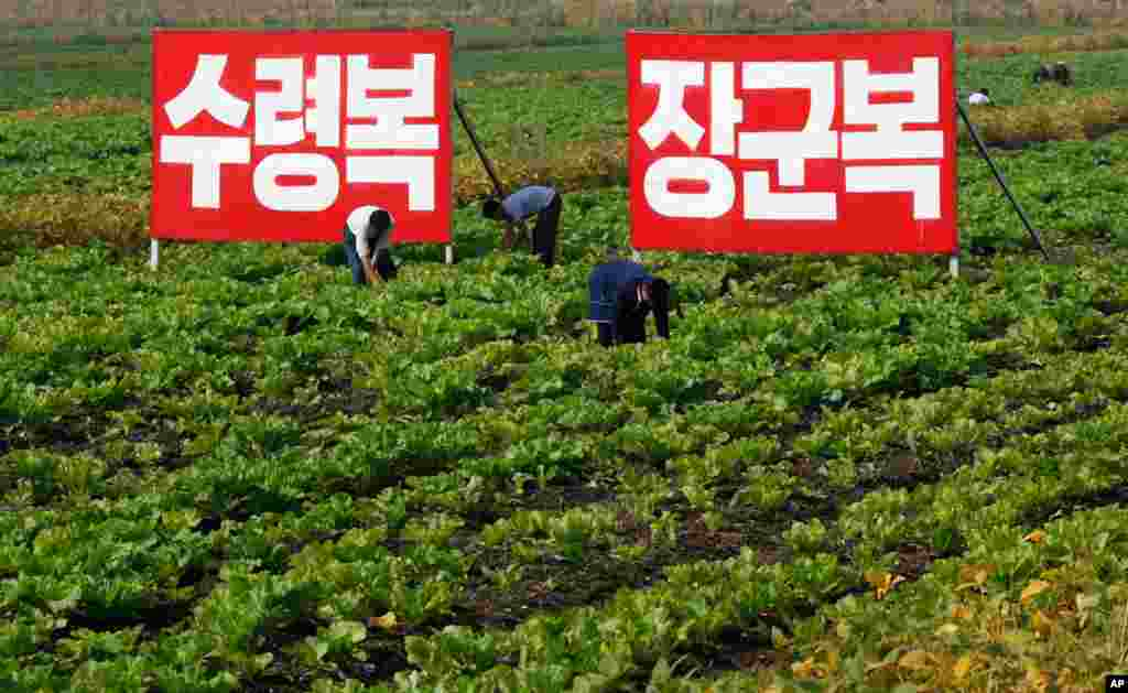 Farmers harvest crops in North Hwanghae Province, North Korea.