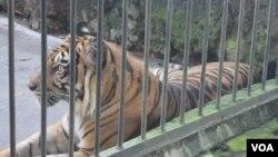 Seekor harimau Sumetera koleksi KBS Surabaya beristirahat di kandangnya (VOA/Petrus).