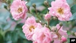 گلاب اُگانا آسان ہے یا مشکل