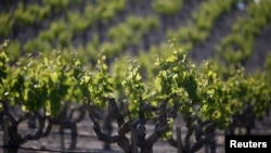 A vineyard is seen in Paso Robles, California, April 20, 2015.